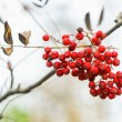 Cluster of rowan berry on a twig — Fotografia Stock  #56176641