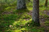 Beautiful sunlit autumn forest floor closeup with green moss — Stock Photo