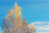 Colorful Birch tree in a clear winter day — Stock Photo