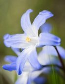 First flowers of spring the blue Scilla siberica — Stock Photo