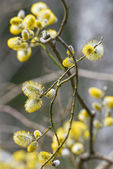 Goat Willows or Salix caprea during spring — Stock Photo