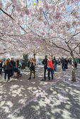People walking in Kungstradgarden during the pink cherry blossom — Stock Photo
