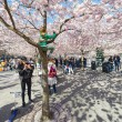 Kid climbing a pink cherry blossom tree during spring in Kungstr — Stock Photo #71443201