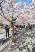 Kid climbing a pink cherry blossom tree during spring in Kungstr — Stock Photo