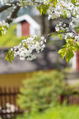 Cherry blossom in garden with red houses in blurry background — Stock Photo