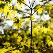 Green maple leaves on the background of spring foliage backlit w — Stock Photo #74557263