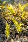 Small yong fern leaves on grey moss during evening light — Stock Photo