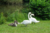 White swan family with cygnets — Stock Photo