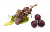 Mouldy, rotting plums in contrast with fresh, ripe fruit — Stock Photo