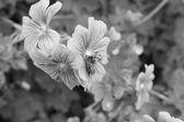Honeybee taking nectar from a geranium — Stock Photo