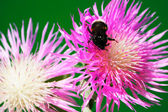 Bumblebee on a flower cornflower — Stock Photo