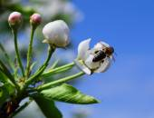 Flowers of a pear with a bee — Stock Photo