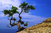 Lonely pine tree — Stock Photo