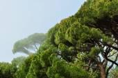 Italian pine grove — Stock Photo
