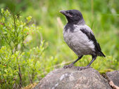 Hooded Crow — Foto Stock