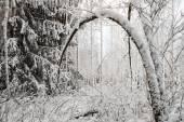 Snowy Tree in Winter — Fotografia Stock