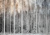 Snowy tees in a row  — Stockfoto