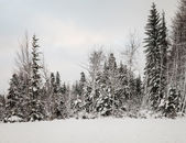 Snowy Trees and Forest in the Winter — Stockfoto