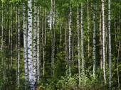 Trees in the Springtime Forest. — Stock Photo