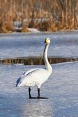 Swan standing on ice — Stock Photo