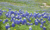 Selective focus view of Texas Bluebonnets on a hillside — Stock Photo