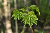 Young maple leaves — Stock Photo