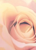 Romance pink rose close up — Stock Photo