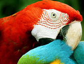 Close up macaw (big parrot) — Stock Photo