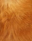 Yellow cat Fur background — Stock Photo