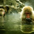Snow monkey sitting in hot spring Japanese Macaque, Jigokudani Monkey Park, Snow monkey — Stock Photo #58646907