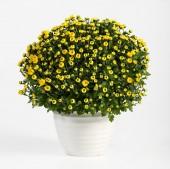 Pot of yellow flowering chrysanthemums — Stock Photo