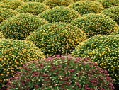 Cultivated manicured chrysanthemum houseplants — Stock Photo