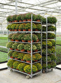 Racks of potted chrysanthemums — Stockfoto