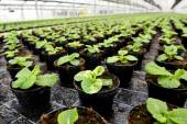 Plants being cultivated in a hothouse — Stockfoto