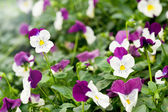 Pretty variegated white and purple violet — Stock Photo