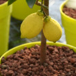 Close up Two Lemon Fruits Hanging on a Tree — Stock Photo #67419641