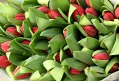 Large bunch of red tulip buds — Stockfoto