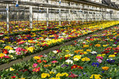 Primula plantation at a floriculture farm — Stock Photo
