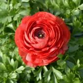 Single beautiful red buttercup — Stock Photo