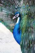 Peacock with iridescent blue feathers — Stock Photo