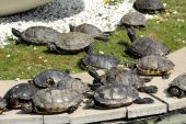 Group of turtles sunning themselves — Stock Photo