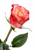 Red and Peach Colored Rose on White Background — Stock Photo