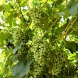 Harvest of ripening white grapes on the vine — Stock Photo #78155210