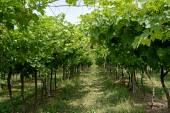 Rows of trellised vines — Stock Photo