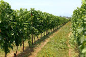 Neat rows of trellised vines in a vineyard — Stock Photo