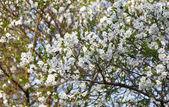 Cherry Tree in bloom — Stock Photo