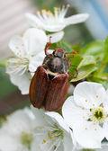 Chafer on cherry blossom flower — Stock Photo