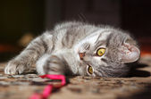 Gray striped cat playing — Stock Photo