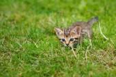Peu rayé chaton caché dans l'herbe — Photo