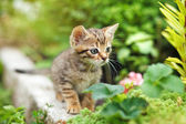 Roztomilý tříbarevné kotě — Stockfoto